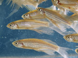 Zebra Fish Multiply in a Water Tank