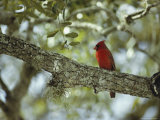 Male Cardinal Perches on a Tree Branch