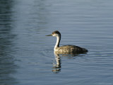 Western Grebe Swimming on the Surface of Calm Water