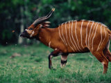 Bongo Antelope Being Irritated by Insects