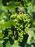 Cluster of Green Grapes Grow on a Lakeside Slope near Zurich