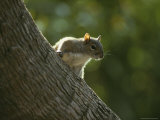 Gray Squirrel Climbs a Tree