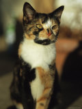 Portrait of a Calico Cat