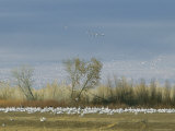Snow Geese in Flight and Resting on the Ground