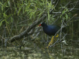 Purple Gallinule Perches on a Tree Branch above a Freshwater Pond