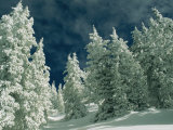 Snow-Covered Evergreen Trees under a Cloudy Sky