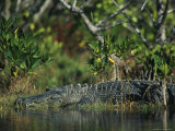 American Alligator on Floridas Gulf Coast
