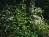 Mountain Laurel Surrounds an Oak Tree