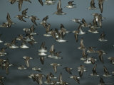 Flock of Western Sandpipers in Flight