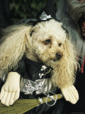 Pet Poodle Dressed as a Witch during a Halloween Celebration