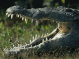 The Open Mouth of an American Crocodile