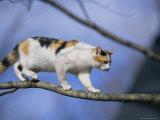 Calico Cat Tightropes across a Tree Limb