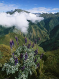 Lupine Flowers Adorn the Steep Slopes of the Vilcabamba with Purple