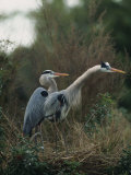 Pair of Great Blue Herons Stand Beside Their Nest
