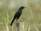 Boat-Tailed Grackle Perches on a Fence Post in Central Florida