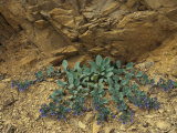 Oyster Plant Grows from a Rock Formation