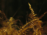Ferns Turned Golden by the Autumn Season