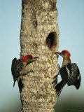 Pair of Red-Bellied Woodpeckers