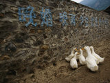 Ducks Huddle under Chinese Characters Painted on a Wall in a Village