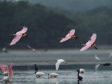 Roseate Spoonbills in Flight over a Coastal Lagoon