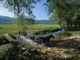 Wild Horses Cross a Stream near Montenero Val Cocchiara