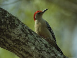 Red-Bellied Woodpecker Perches on a Tree