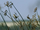 Marsh Wren Perched on a Tall Grass