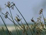Marsh Wren Perched on a Tall Grass