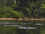Giant River Otters Swim in Lake Balbina