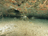 Spiny Lobsters Hide Beneath a Shipwreck