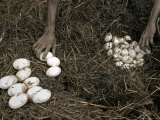 Aborigines Gathering Eggs from a Saltwater Crocodile Nest