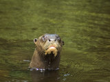 Giant River Otter Swims in Lake Balbina