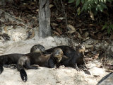 Giant River Otters Rest on the Shoreline of Lake Balbina