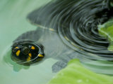 Yellow-Spotted Amazon River Turtle in Balbina Lake