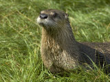 Adult  Male North American River Otter