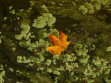Maple Leaf and Rock Lichen