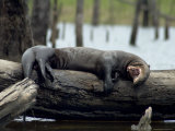 Giant River Otter Rests on a Log at Lake Balbina
