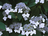 Lace Cap Hydrangea Flowers in Bloom