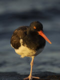 An Oystercatcher Standing on One Leg Near the Shore