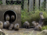 Family of Asian Short-Clawed River Otters