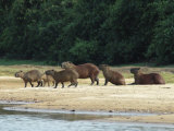 Capybaras Walk on the Shoreline of the Rio Negro