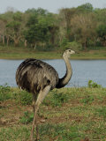 Common Rhea at the Fazenda Barranco Alto