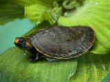 Red-Headed Amazon River Turtle in Lake Balbina