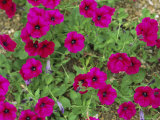 Glowing Magenta Petunias in Bloom