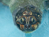 Giant Amazon River Turtle in Balbina Lake