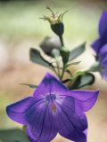 Close View of a Balloon Flower in Bloom