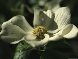 Close View of a Pacific Dogwood Blossom