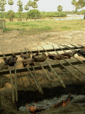 Meat Is Grilled on Spits over an Open Pit