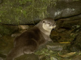 Asian Short-Clawed River Otter at the Entrance to its Den