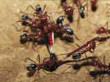 Meat Ants Struggle Together to Move a Grasshopper Leg into Their Nest